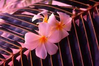 Plumeria Stock photo [3377268] Plumeria