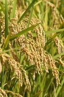 Ear of rice Stock photo [3381745] Autumn