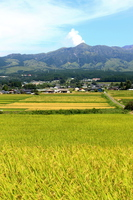 Rice and Aso landscape of golden Stock photo [3384510] Golden