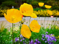 Yellow poppy Stock photo [3472817] Yellow