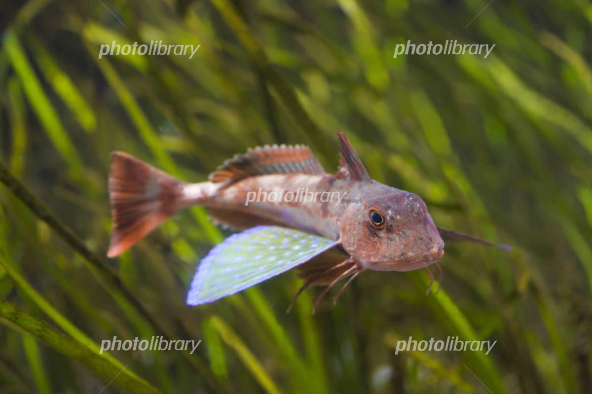 Sea robin Photo