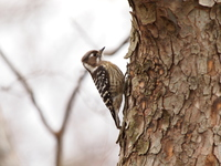 Japanese Pygmy Woodpecker Stock photo [3565194] Japanese