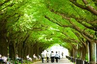 Jingu Gaien of Ginkgo trees Stock photo [3566746] Shrine