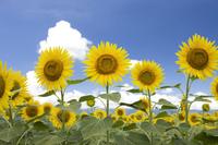 Summer sky and sunflower fields Stock photo [3568216] Sunflower