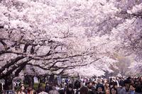 Ueno Park of cherry trees Stock photo [3576576] ueno