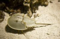 Horseshoe crab Stock photo [3577210] Horseshoe