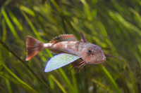 Sea robin Stock photo [3577295] sea