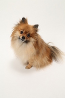 Orange Pomeranian that cock the neck with your clarified Stock photo [3582890] Small