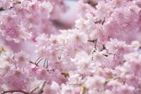 Weeping cherry Stock photo [3584629] Sakura