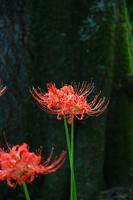 Amaryllis of Funaoka Castle Park Stock photo [3677930] Amaryllis