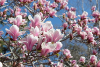 Magnolia Kyotogyoen Stock photo [3680924] Magnolia