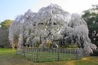 Kyotogyoen weeping cherry tree Stock photo [3687484] Kyoto