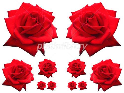 赤い薔薇 素材 写真素材 フォトライブラリー Photolibrary