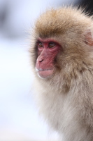 Twink Snow Monkey (Jigokudani Monkey Park field) Stock photo [3790915] Snow