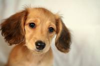 Puppy of miniature Stock photo [3794470] Dog