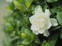 Gardenia Stock photo [3907056] Gardenia