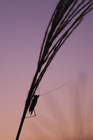 Pampas grass and insects silhouette Stock photo [3908761] Japanese