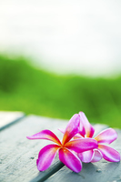 Pink frangipani flower vertical angle Stock photo [3908783] Frangipani