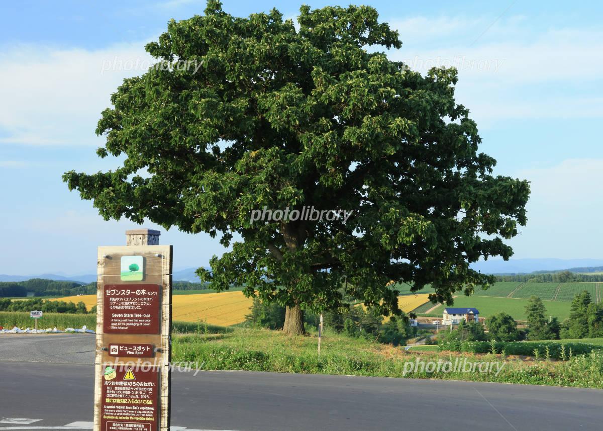 セブンスターの木 写真素材 3990582 フォトライブラリー