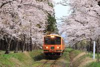 Tsugaru Railway to go the tunnel of cherry blossoms Stock photo [3987773] Landscape