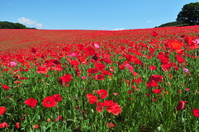 Chichibu, Saitama Prefecture sky of poppy Stock photo [3996323] Poppy