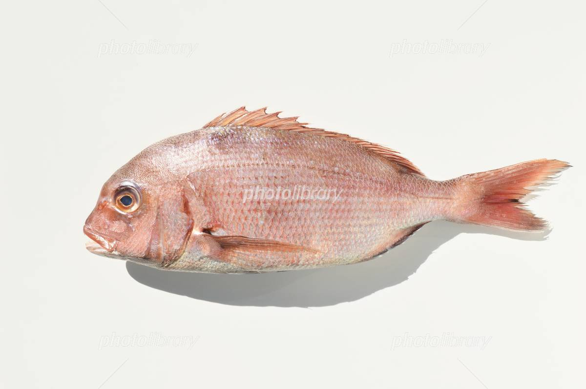 Red sea bream White Background Photo