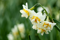 Narcissus flowers Stock photo [4073723] Narcissus