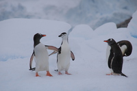 Adelie penguin Stock photo [4149449] Antarctic
