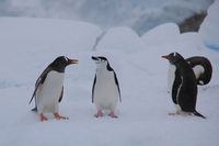 Adelie penguin Stock photo [4149451] Antarctic
