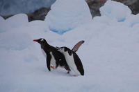 Adelie penguin Stock photo [4149453] Antarctic