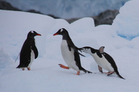 Adelie penguin Stock photo [4149454] Antarctic