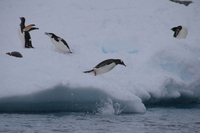 Adelie penguin Stock photo [4149456] Antarctic