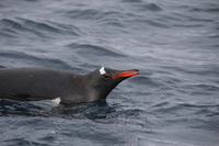 Gentoo penguin Stock photo [4149461] Antarctic