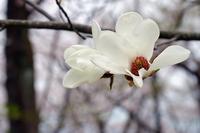 Shiraki lotus Stock photo [4192828] Yulan