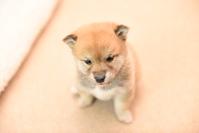 Puppy Shiba Inu Stock photo [4198209] Shiba