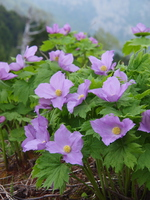 Glaucidium palmatum Stock photo [4199214] Glaucidium