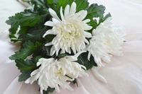 White chrysanthemum Stock photo [4201421] chrysanthemum