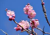 Plum blossom Stock photo [4243951] Hongmei