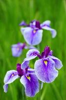 Iris Stock photo [4244604] Ayame