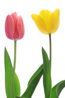 Yellow and pink tulips Stock photo [4245076] Tulip
