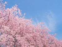 Cherry tree in full bloom Stock photo [4249050] Cherry