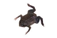 Surinam toad Stock photo [4251308] Frog