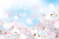 Cherry blossom petals lot blue Stock photo [4253409] Cherry
