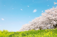 Spring landscape cherry tree Yoshino cherry tree SakuraFubuki of Japan Stock photo [4254832] Cherry