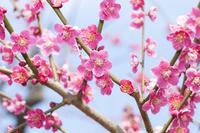 Plum blossom Stock photo [4295486] plum