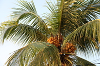 Coconut Stock photo [4306495] coconut