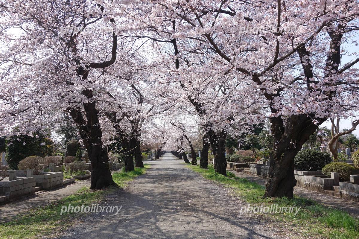 多磨霊園の桜 写真素材 [ 4385197 ] - フォトライブラリー photolibrary