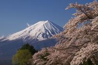 Sakura and Fuji Stock photo [4382121] Cherry