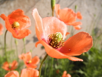 Papaver dubium Stock photo [4387973] Corn