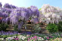 Murasakifuji and mortar Benifuji Stock photo [4388771] Wisteria